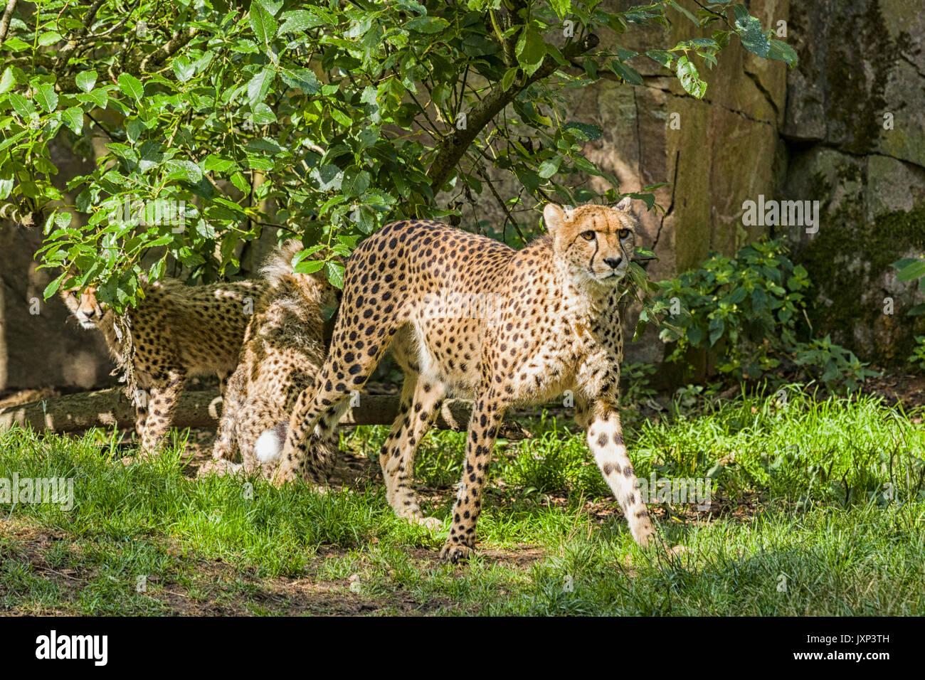 Grupo de guepardo (Acinonyx jubatus), madre de familia con cheetah con oseznos modelo de liberación: nº de propiedad: Release No. Foto de stock