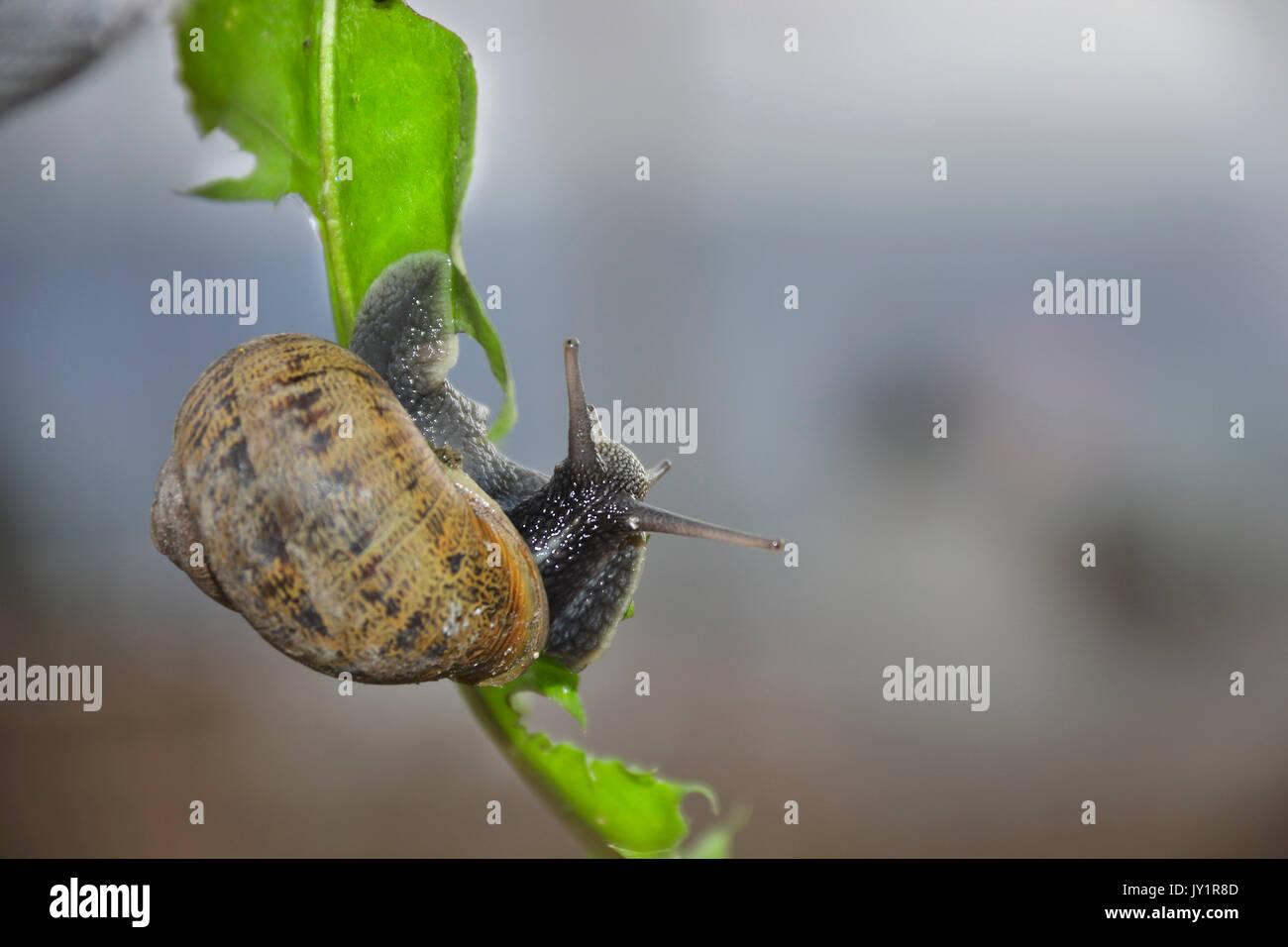 El caracol común de jardín o burgajo (Helix aspersa) es una especie de molusco gasterópodo de la familia Helicidae Foto de stock
