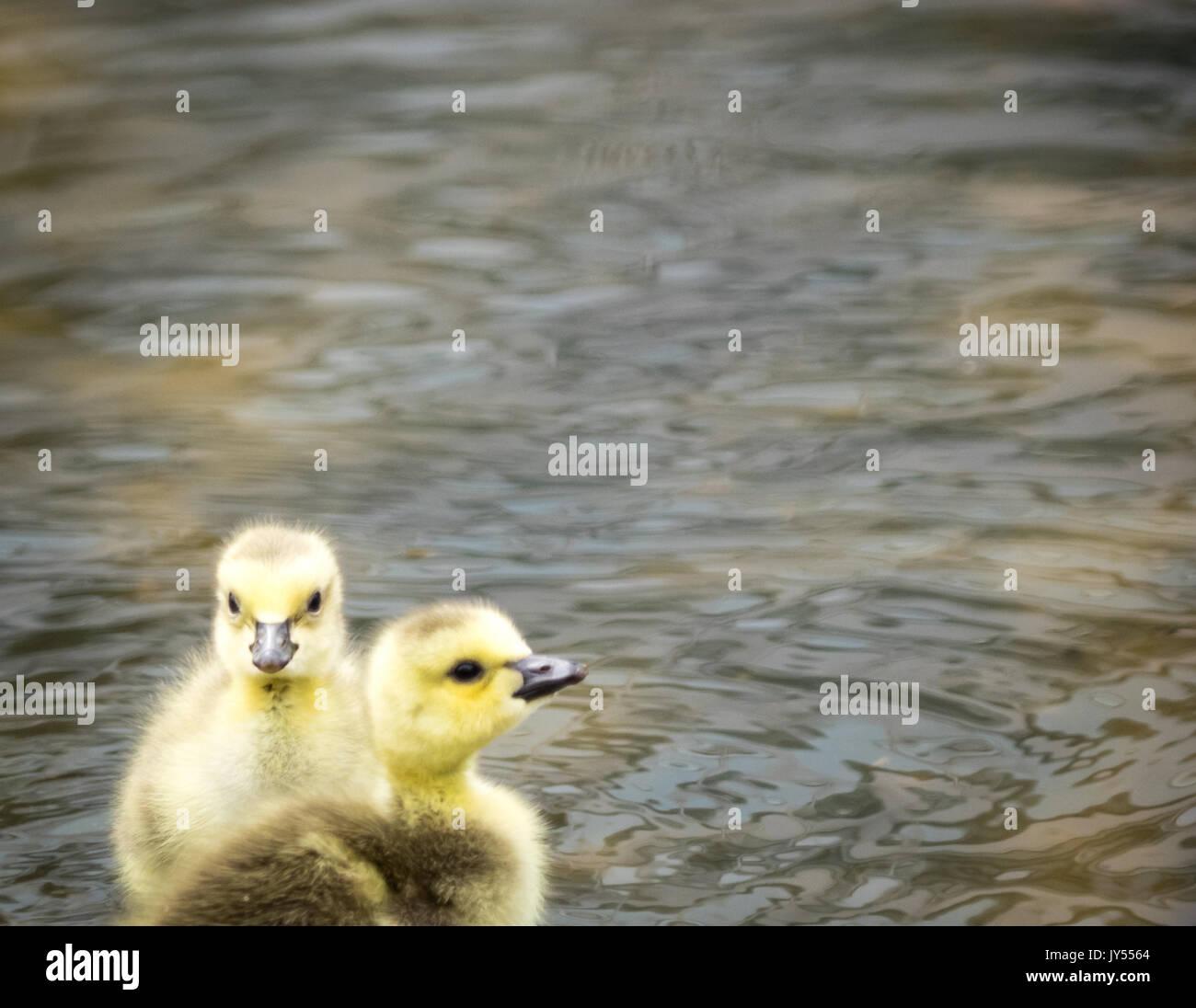 Un par de lindos, fuzzy día de edad goslngs gansos canadienses (Branta canadensis) vadeando en un estanque poco profundo en Century Park en Edmonton, Alberta, Canadá. Imagen De Stock