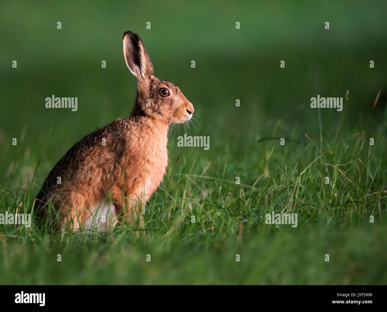 Brown de la liebre (Lepus europaeus) en las primeras horas de la mañana la luz, Warwickshire Imagen De Stock