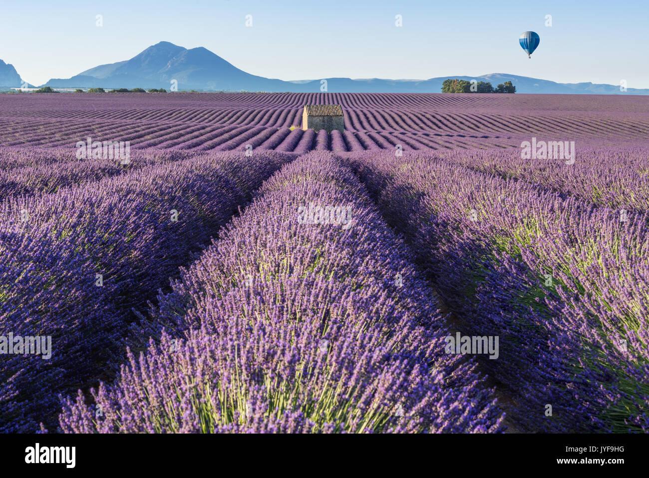 En globo de aire caliente a través de los campos de lavanda de Valensole. Provence, Francia Foto de stock