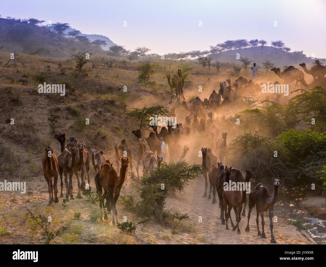 Los camellos en el camino a Pushkar Mela al atardecer, el mercado de camellos, Pushkar, Rajastán, India Imagen De Stock