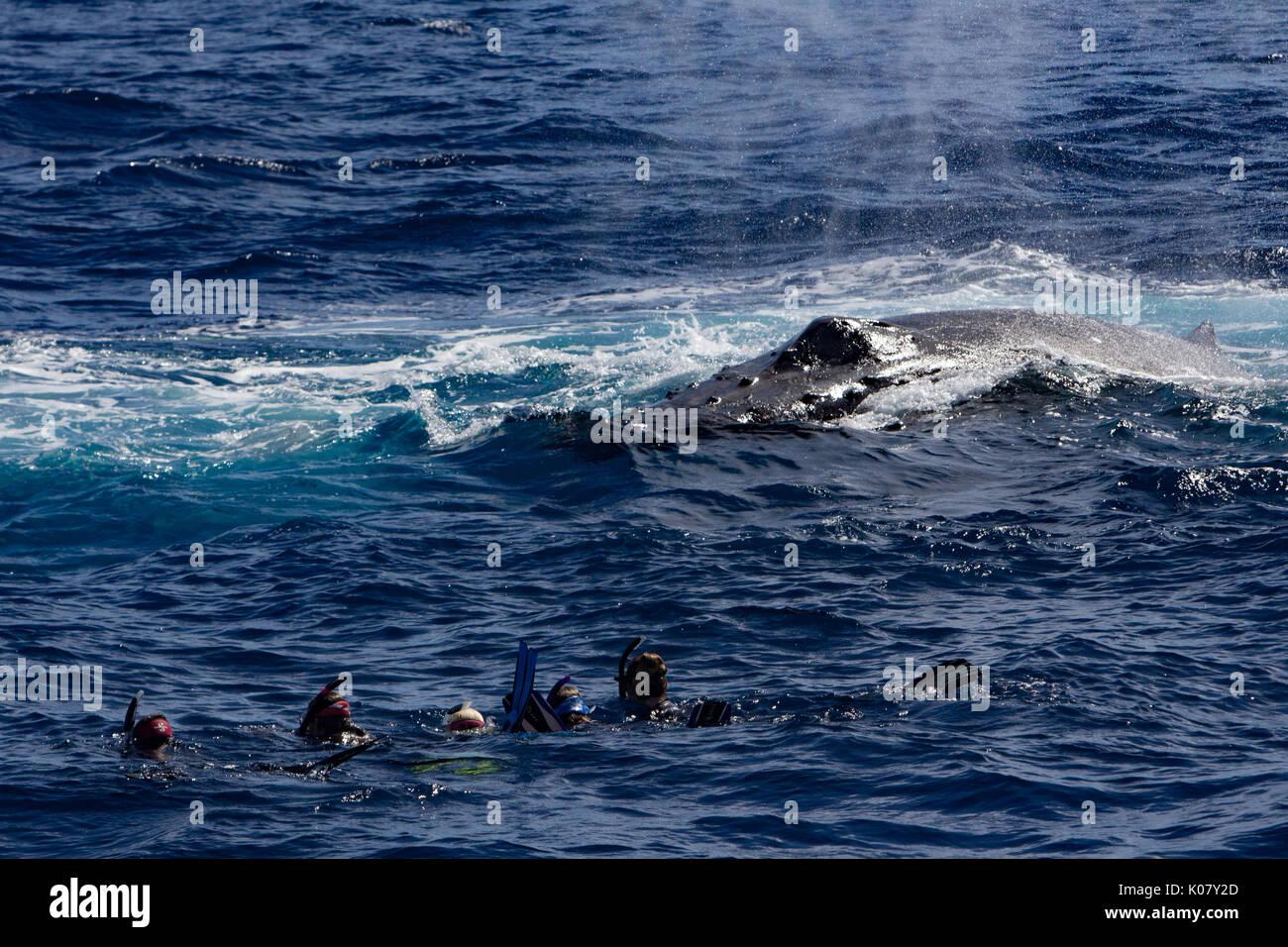 Gente nadando con las ballenas en Tonga y obtener la experiencia de toda una vida Imagen De Stock