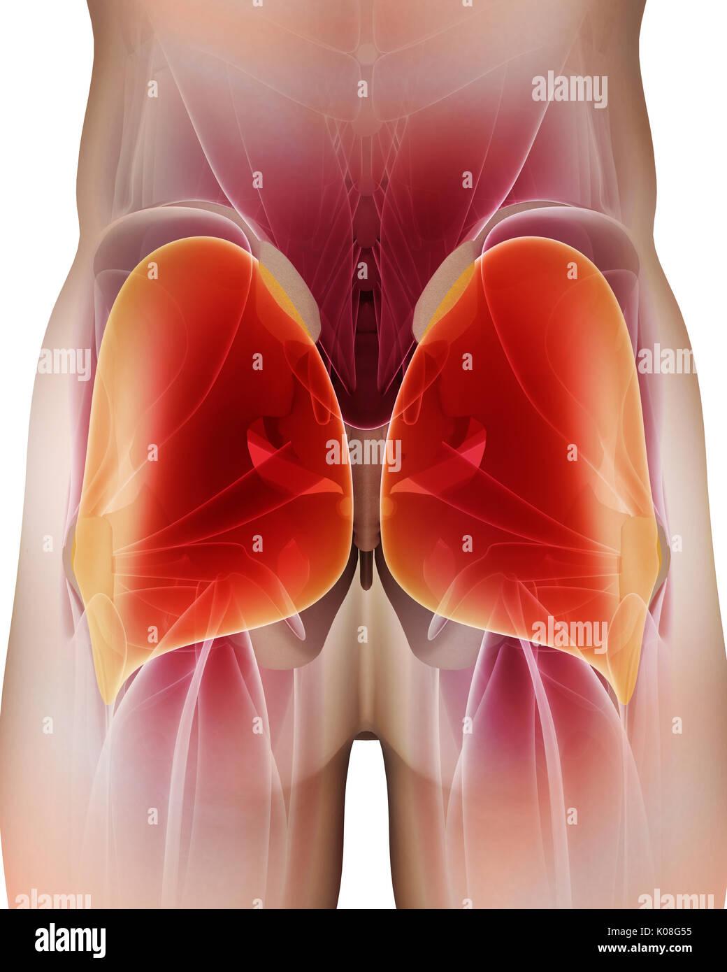 Ilustración 3d de glúteo mayor, parte de la anatomía del músculo ...