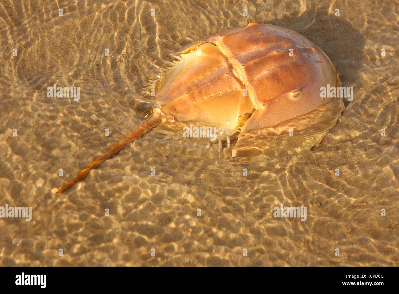 Cangrejo Herradura Fotos e Imágenes de stock Alamy
