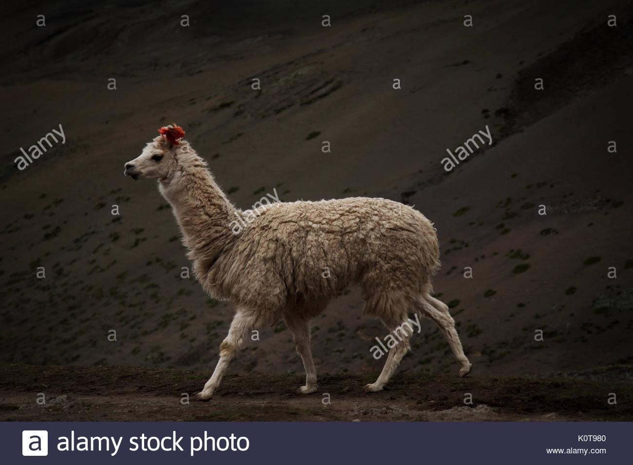 llama Imagen De Stock