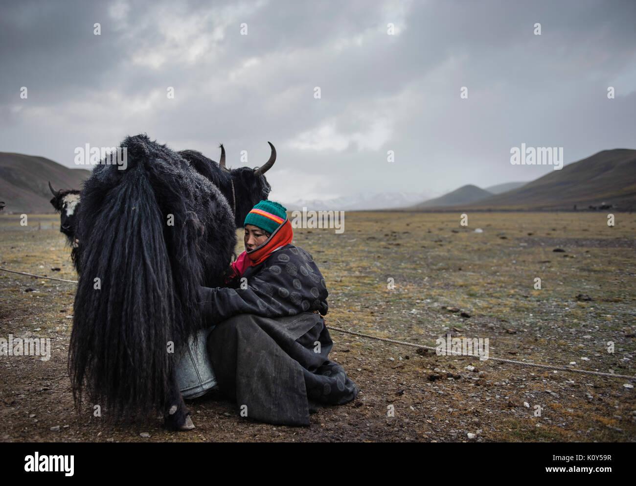 Al final de cada jornada los nómadas tibetanos tienen la difícil tarea de organizar y su vinculación a los yaks alrededor de sus campamentos. Meseta Tibetana Imagen De Stock
