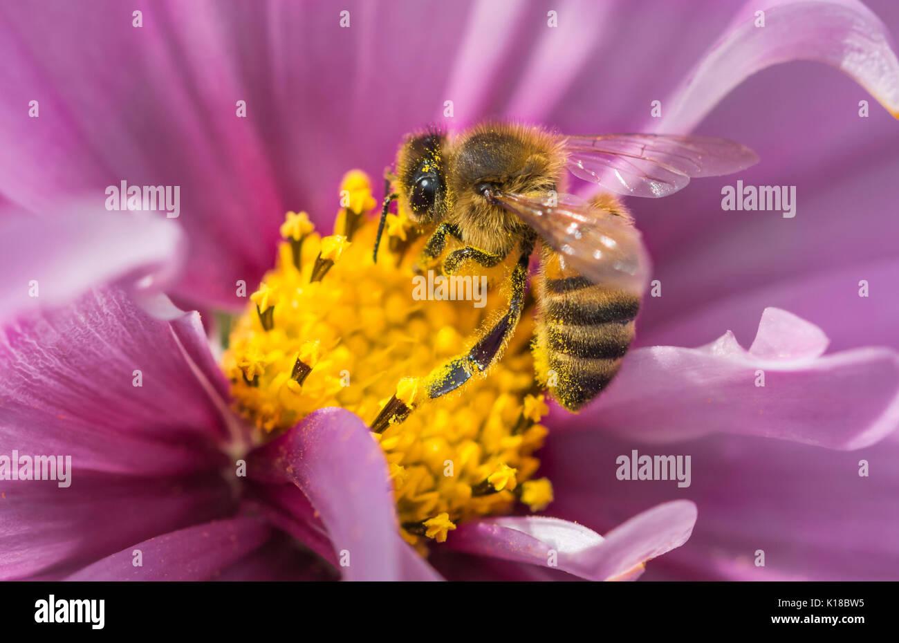 Macro de miel de abeja europea (Apis mellifera) en un Cosmos bipinnatus (México) flor aster recogidas néctar / polinizando, en West Sussex, Inglaterra, Reino Unido. Foto de stock