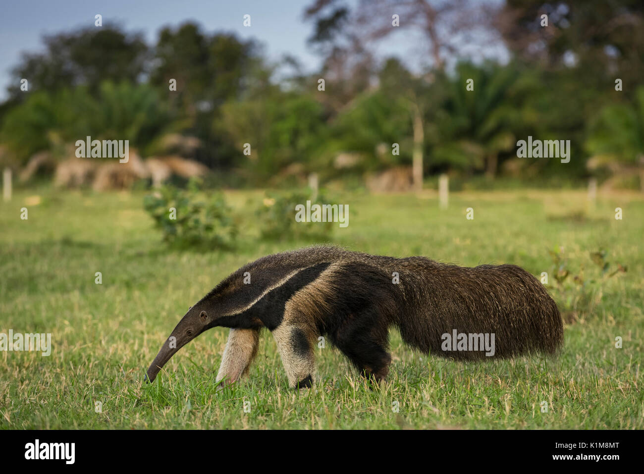 Oso hormiguero gigante (Myrmecophaga tridactyla) en su hábitat, el Pantanal de Mato Grosso, Mato Grosso do Sul, Brasil Imagen De Stock