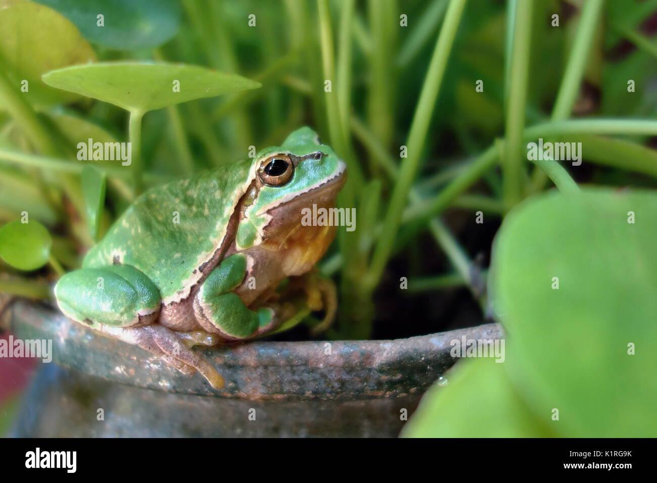 Bonita casa verde anfibios rana de árbol europeo, Hyla Arborea, sentado sobre el césped del hábitat. Imagen De Stock