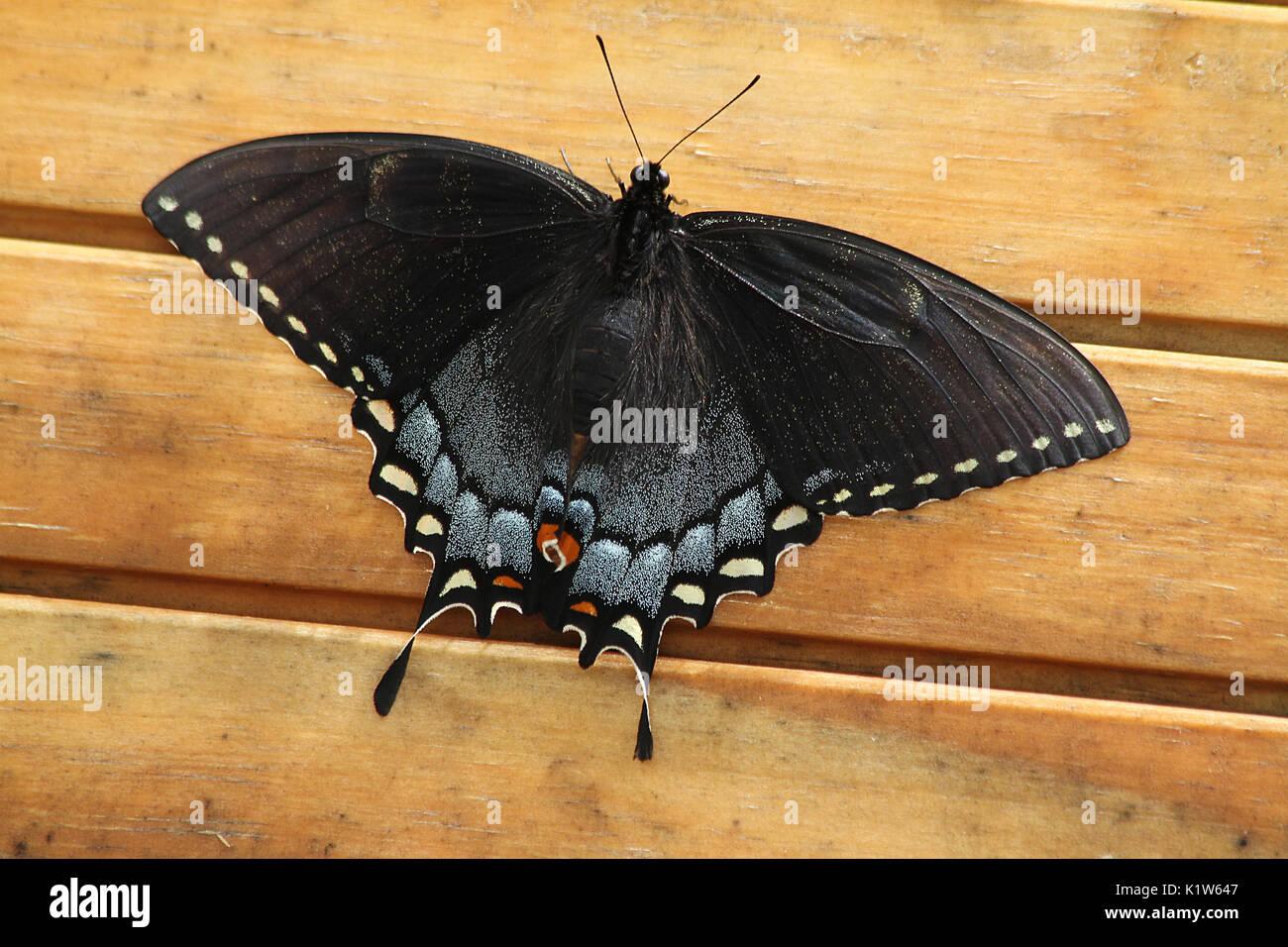 Cerca de spicebush especie butterfly Foto de stock