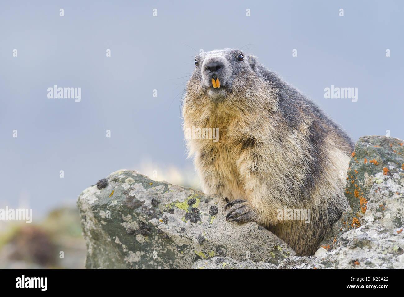 La marmota alpina (Marmota marmota) en rocas, animales retrato, parque nacional Hohe Tauern, Carintia, Austria Imagen De Stock