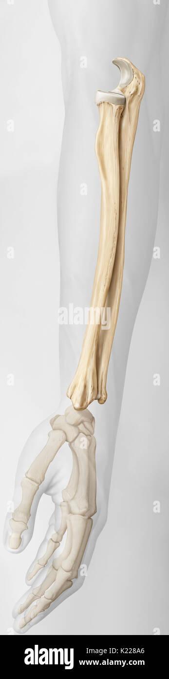 Los huesos del antebrazo, el radio y el cúbito Foto & Imagen De ...