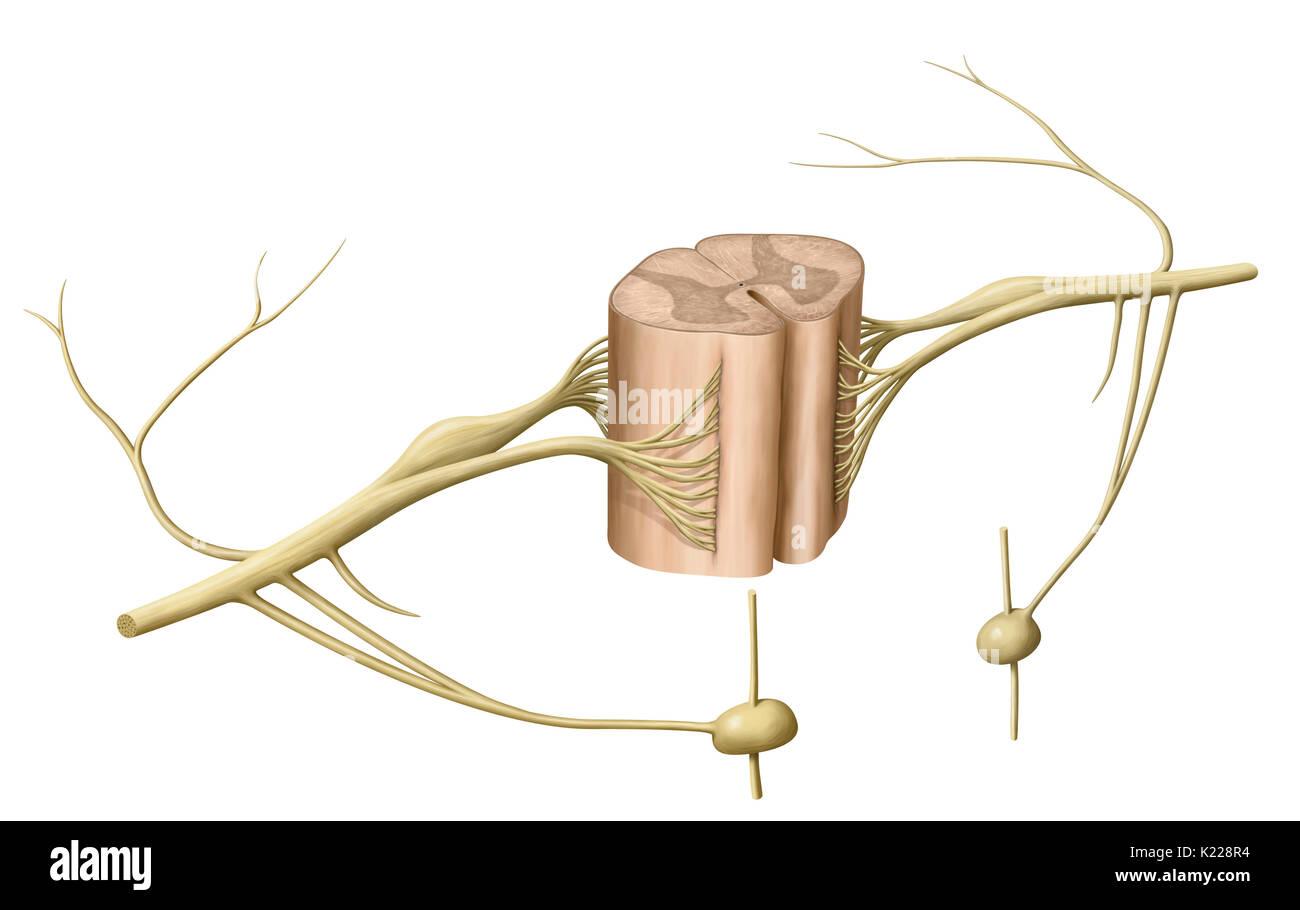La médula espinal está formada por una banda de tejido nervioso más de 16 pulgadas (40 cm) de longitud ubicado en el canal vertebral, dentro de la columna vertebral. Se extiende desde el bulbo espinal a la segunda vértebra lumbar y se extiende por un conjunto de fibras nerviosas, la cauda equina. Compuesto de neuronas motoras y sensoriales, la médula espinal asegura la transmisión de mensajes entre los nervios y el cerebro, además de ser un centro de reflejos. Imagen De Stock