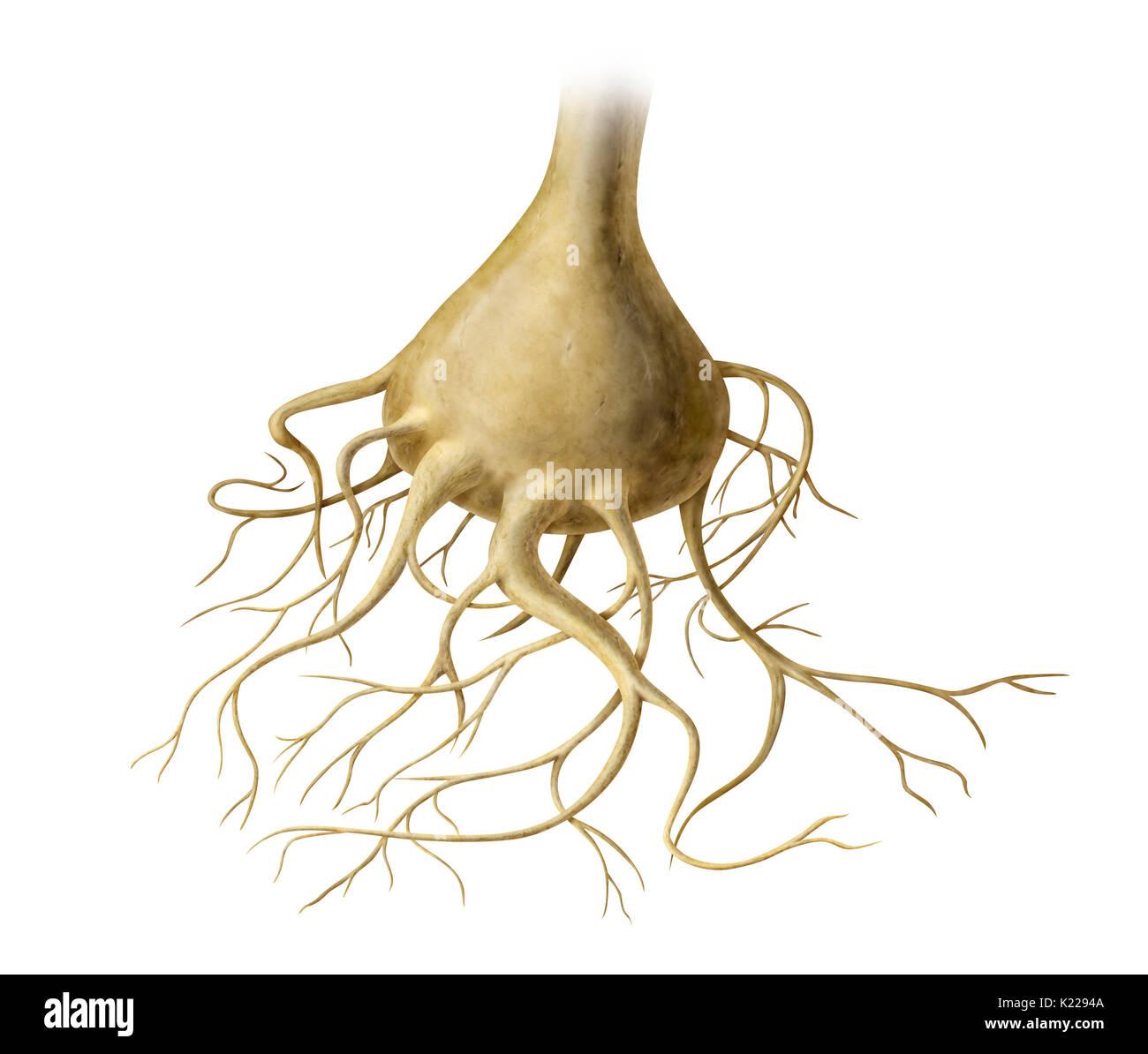 Cada una de las neuronas sensoriales que constituyen los receptores olfativos; sus axones se juntan para formar los nervios olfatorios. Imagen De Stock