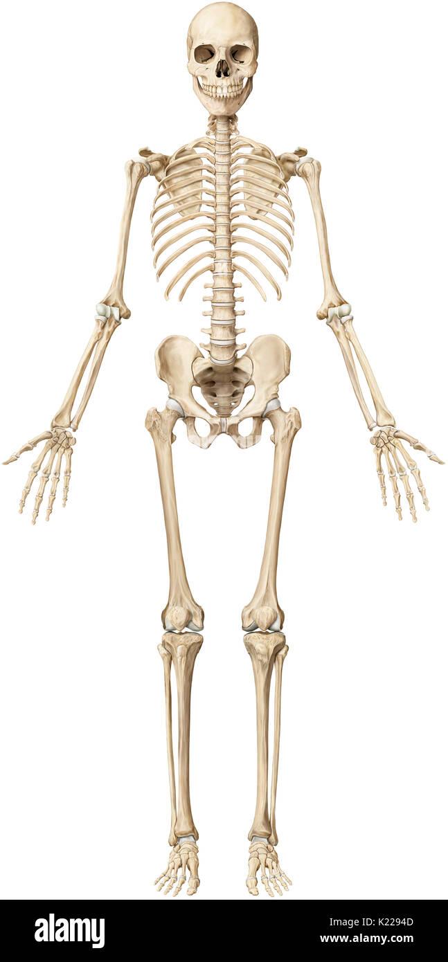 El esqueleto humano se compone de 206 huesos articulados de ...