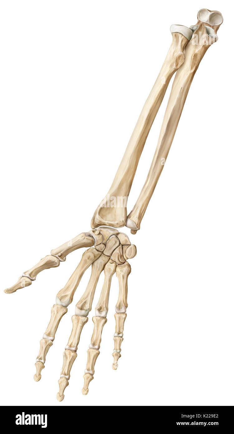 Los Huesos Del Antebrazo Y La Mano Fotografía De Stock Alamy