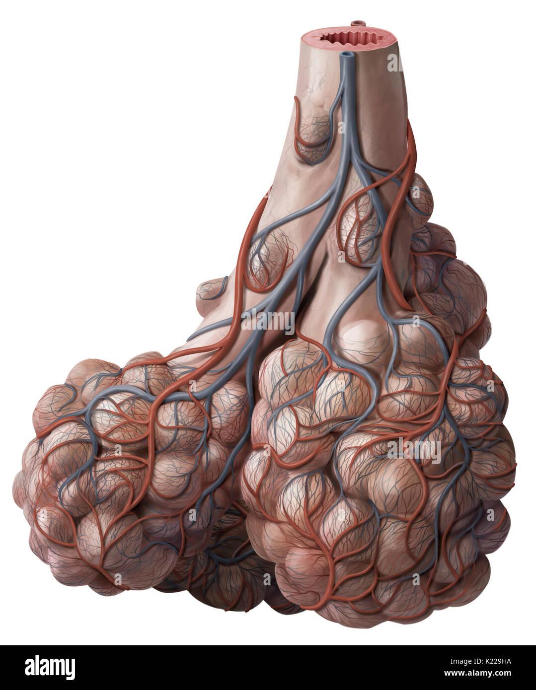 Los bronquiolos son las subdivisiones más angosto del árbol ...