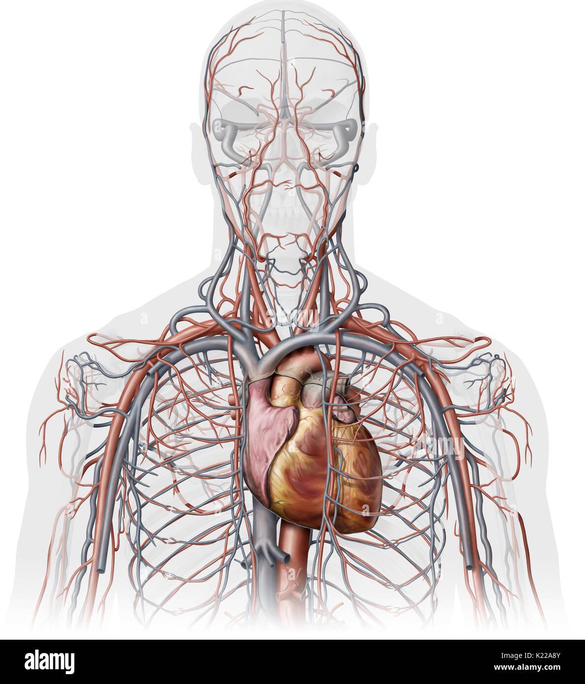 Esta imagen muestra una vista anterior de las venas y las arterias ...