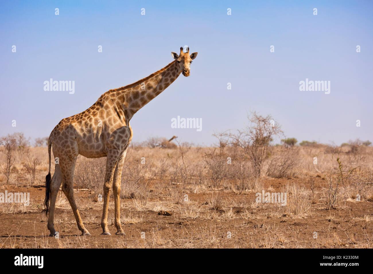 Una jirafa en el Parque Nacional Kruger en Sudáfrica. Imagen De Stock
