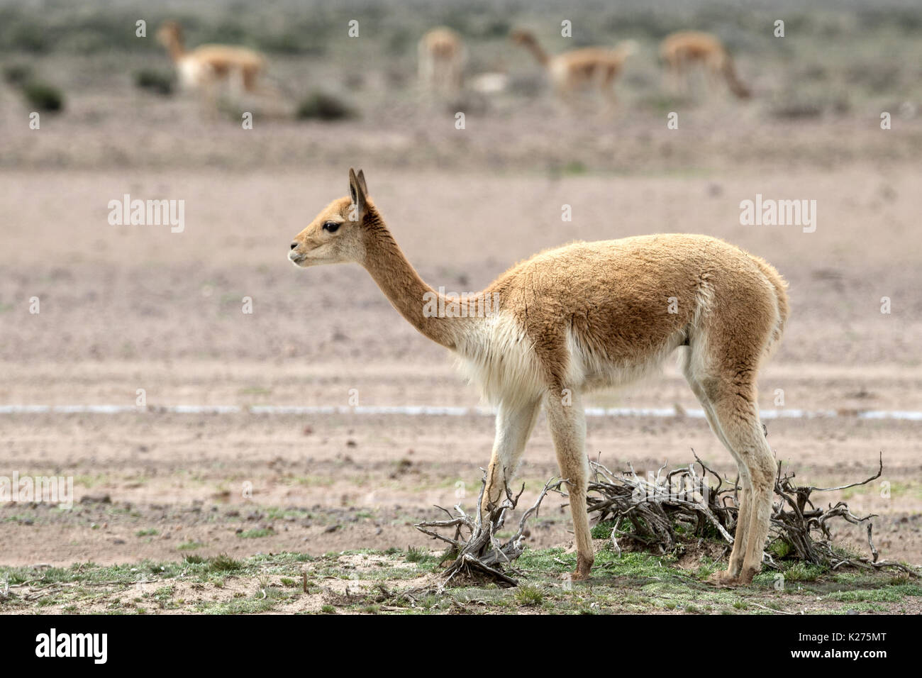 Vicuña pastoreo Altiplano Perú Foto de stock