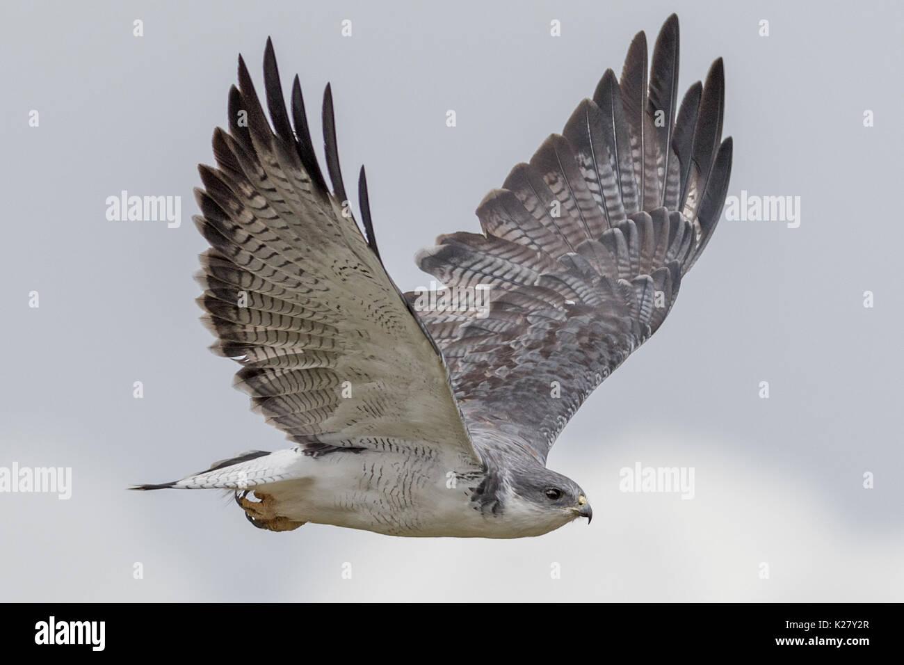 Variable Hawk (Buteo polyosoma) Alti plano Foto de stock