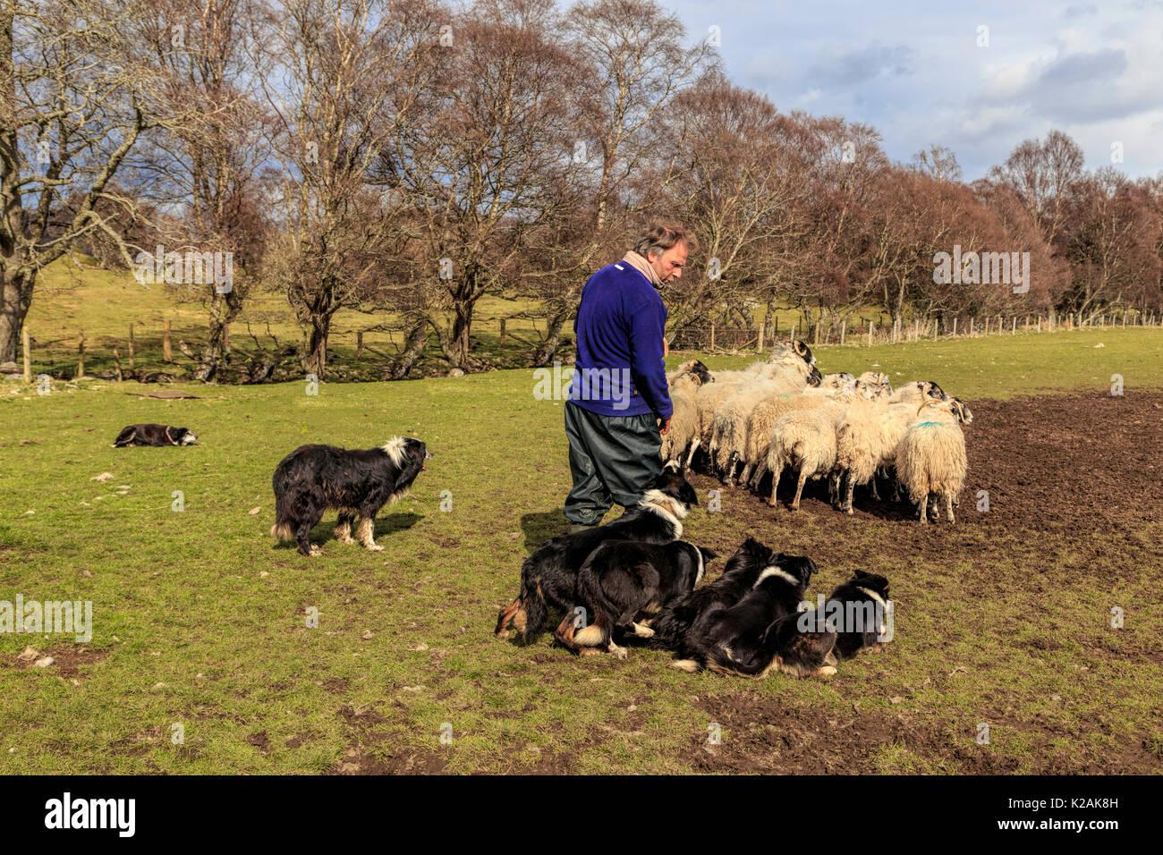Ganadería ovina dando una demostración con sus perros de trabajo, Border Collie arrear una serie de Scottish Blackface ovejas Kincraig, Escocia, Reino Unido. Foto de stock