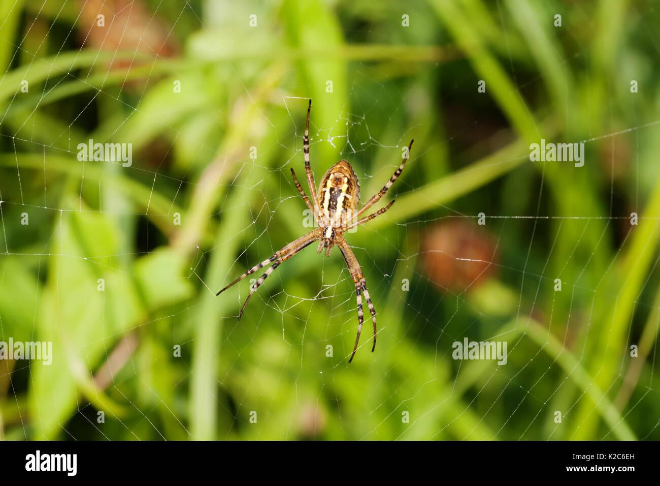 Orb Weave Spider Imágenes De Stock & Orb Weave Spider Fotos De Stock ...