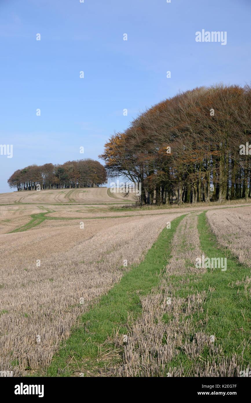 Cúmulos de hayedo (Fagus sylvatica) y cosechadas en el campo arable Ridgeway antigua pista y ruta de larga distancia, Marlborough Downs, Wiltshire, Reino Unido, Noviembre de 2013. Foto de stock
