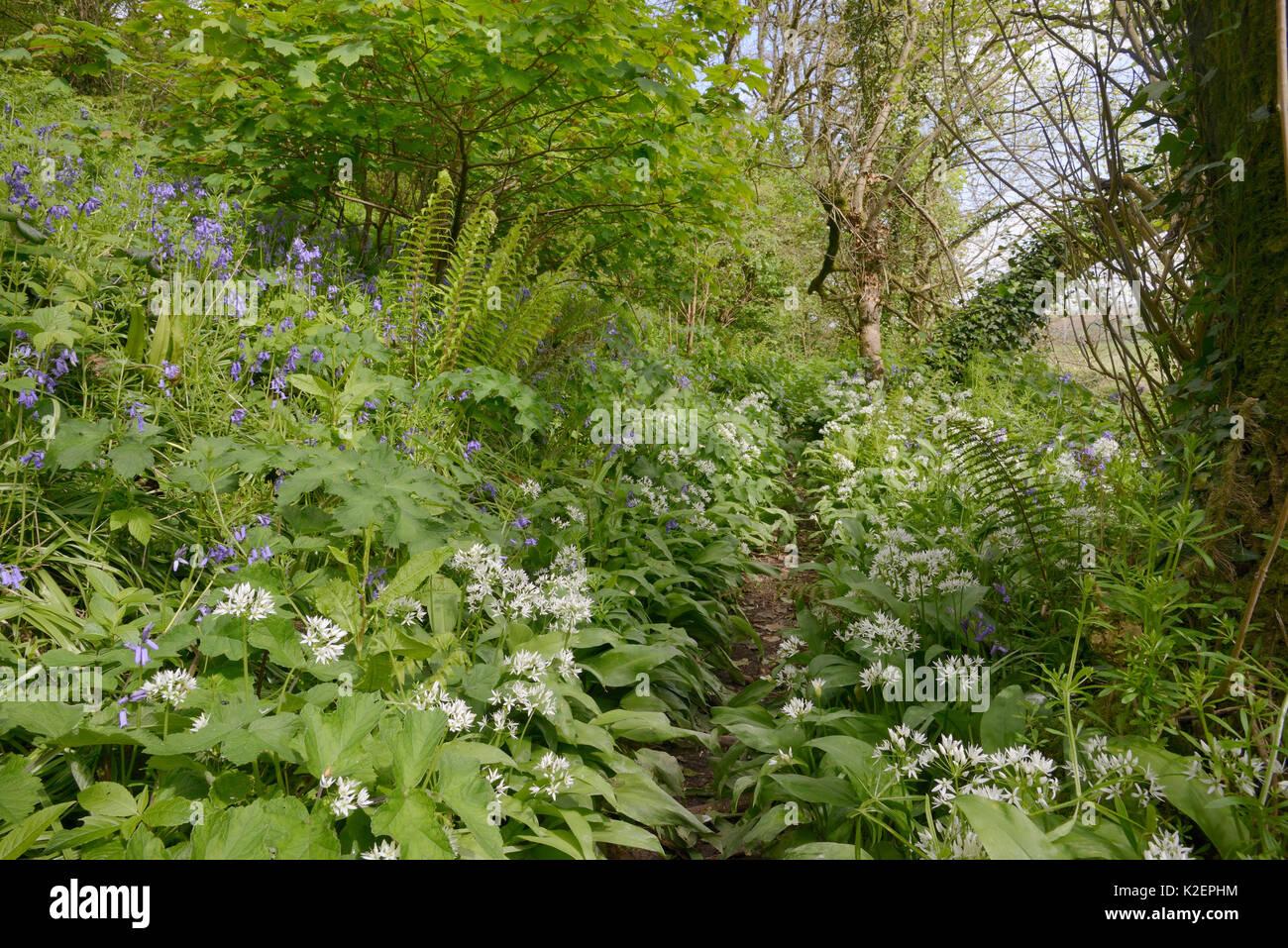 Berro (Lepidium draba canosos / Cardaria draba), una especie de largo naturialised del sur de Europa, en el Reino Foto de stock