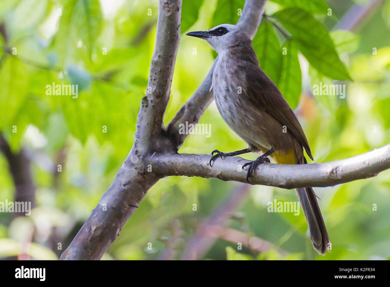 Bulbul (Pycnonotus Yellow-Vented goiavier) Perca en el árbol. Foto de stock
