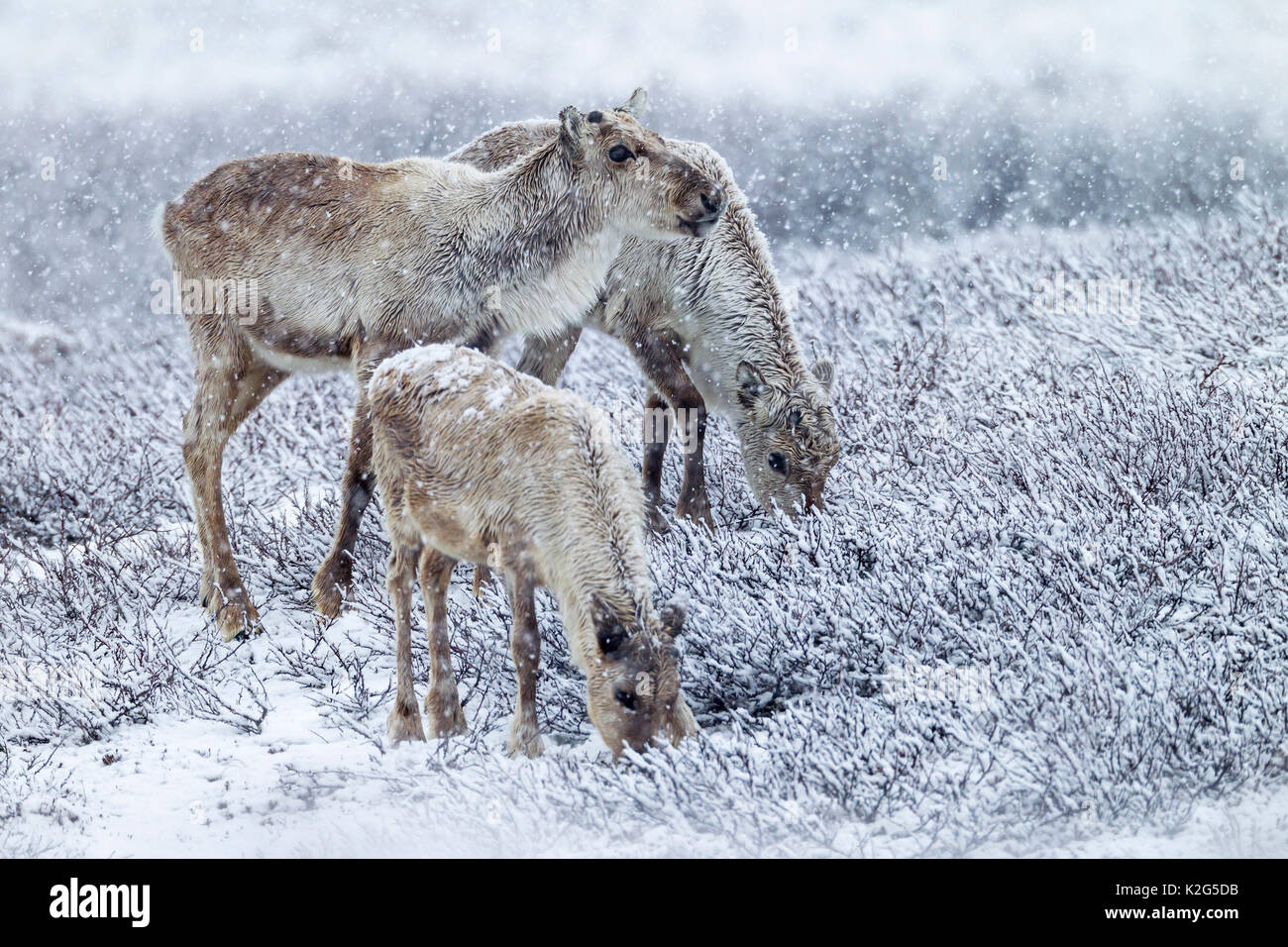 Los renos (Rangifer tarandus), hembra , dos vacas y terneros del año anterior en el ventisquero, alimentación Imagen De Stock