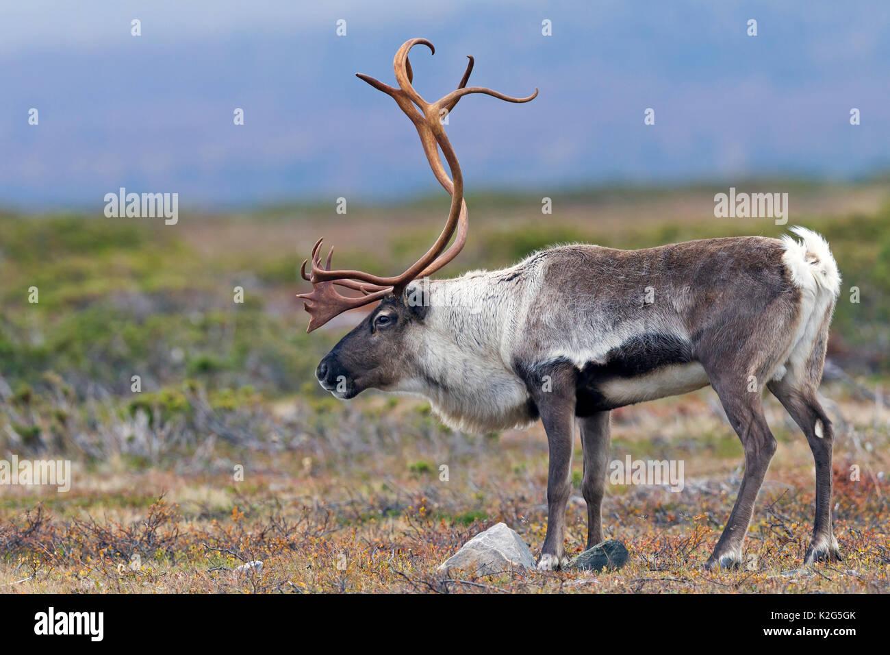 Los renos (Rangifer tarandus), macho en la tundra,las rodillas producen un sonido de clic cuando caminan Imagen De Stock