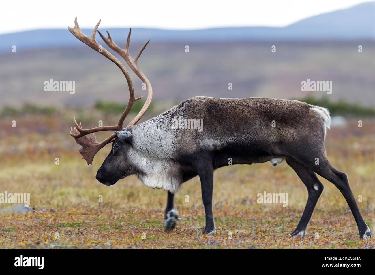Los renos (Rangifer tarandus), macho en la rodera Foto de stock