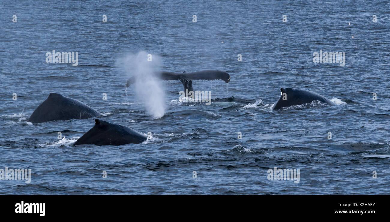 Grupo de ballenas jorobadas (Megaptera novaeangliae) en el sureste de Alaska's Inside Passage. Foto de stock