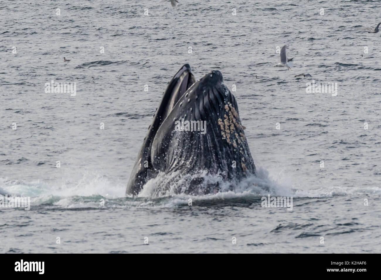 Grupo de ballenas jorobadas (Megaptera novaeangliae) para alimentar la red de burbujas en el sureste de Alaska's Inside Passage. Foto de stock