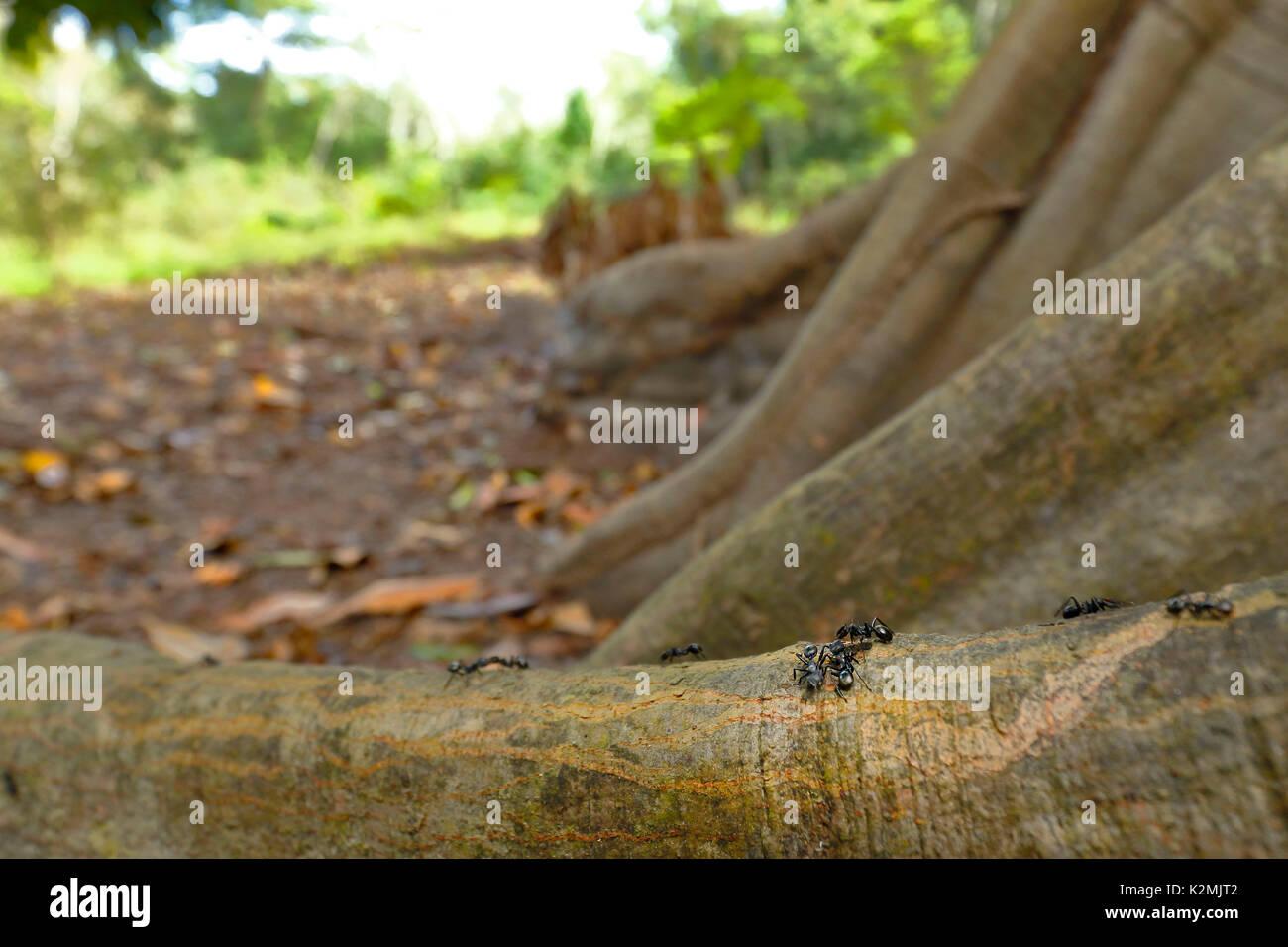 Bullet hormiga (Paraponera clavata), caminando sobre las raíces del árbol Foto de stock