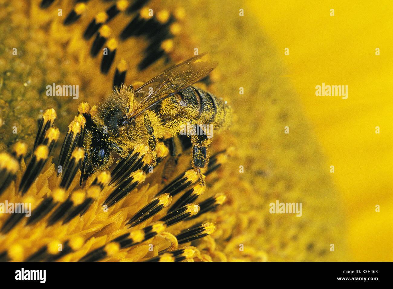 Abeja de miel, Apis mellifera, Adulto en el girasol, el polen sobre su cuerpo, close-up Foto de stock