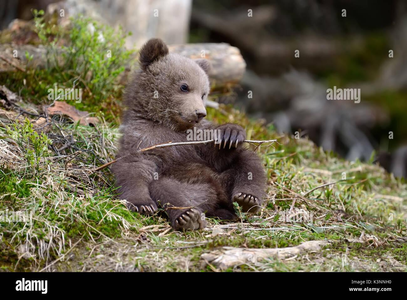 Joven oso pardo en el bosque. Retrato de oso pardo. Animales en el hábitat natural. Cub de oso pardo sin madre. Imagen De Stock