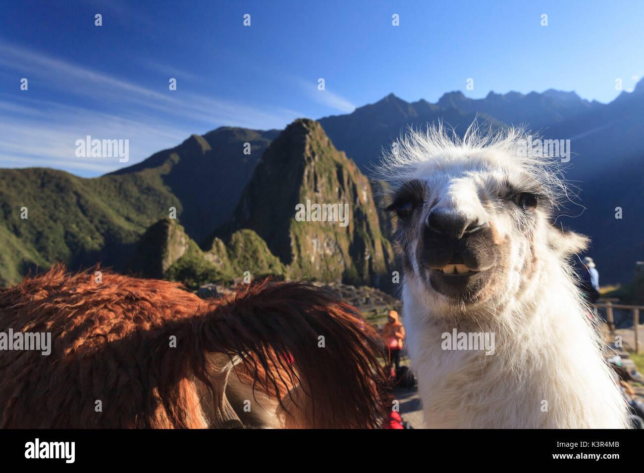 Llamas en el icónico sitio arqueológico de Machu Picchu en la Región Cusco, provincia de Urubamba, distrito de Machupicchu, Foto de stock