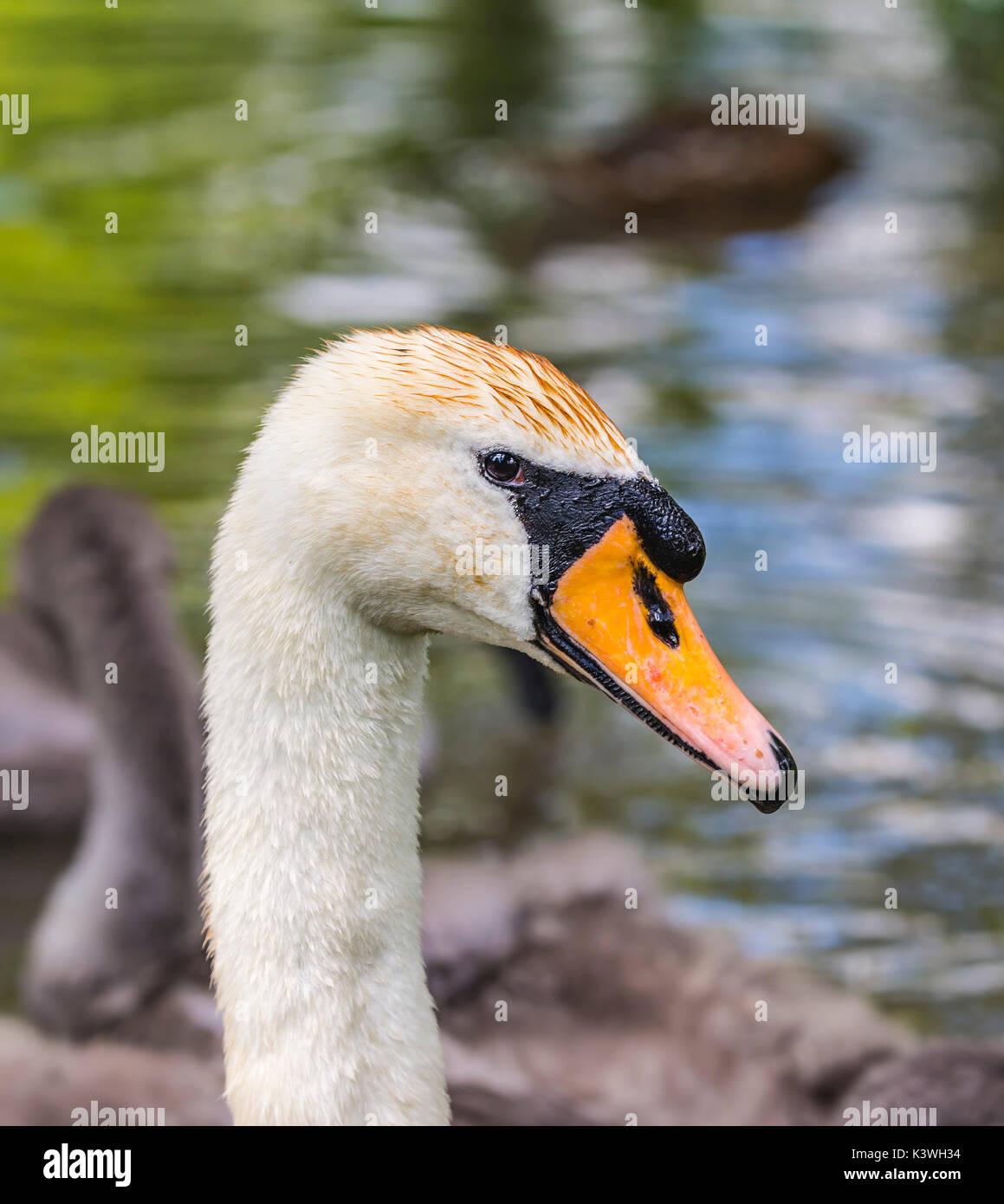 Cisne Blanco (Cygnus olor) de cuello y cabeza, retrato de cerca. Imagen De Stock