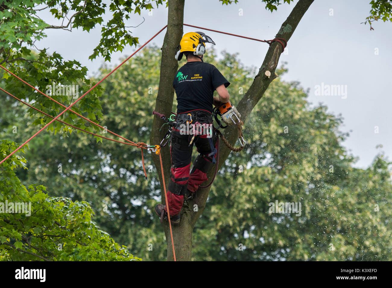 Tree Surgeon trabajan en equipos de protección, con cuerdas de escalada para seguridad & holding motosierra, alta en las ramas del árbol del jardín - Yorkshire, Inglaterra, Reino Unido. Foto de stock