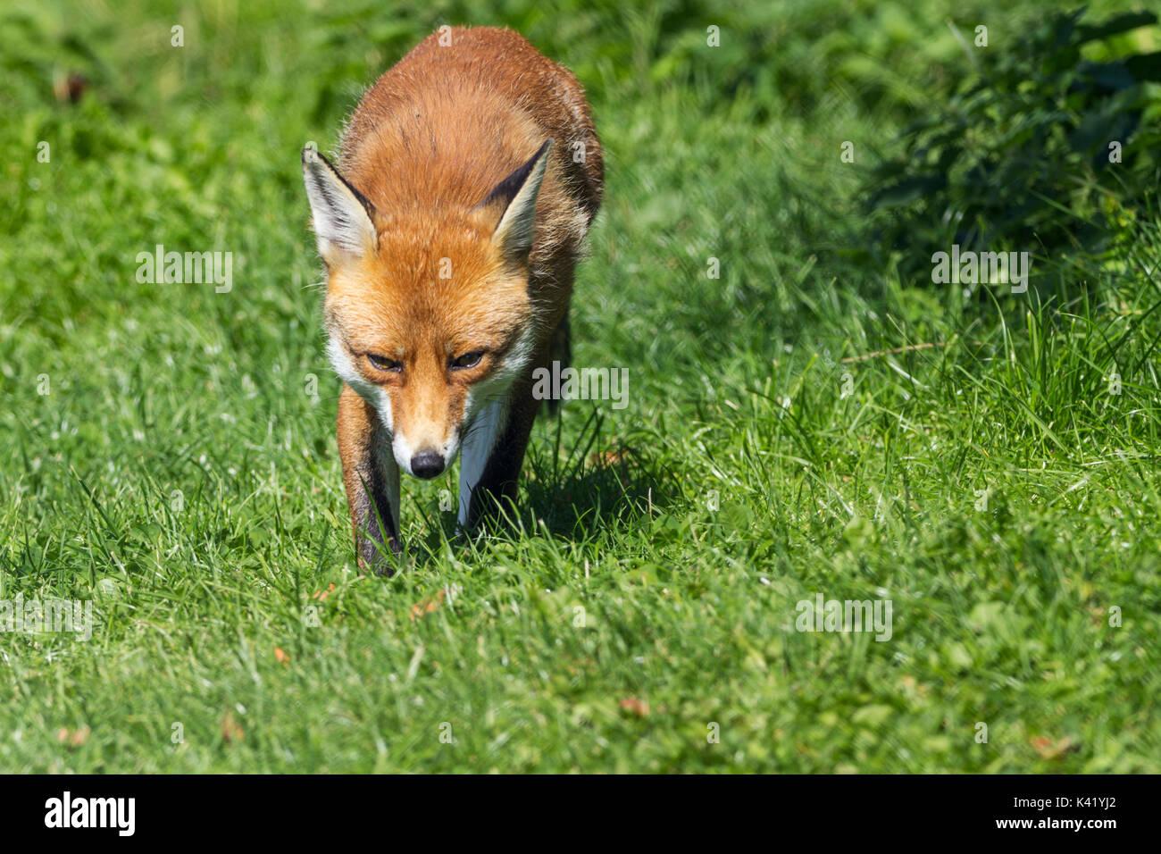 El zorro Vulpes vulpes perro como mamífero relajante en unas buenas ...