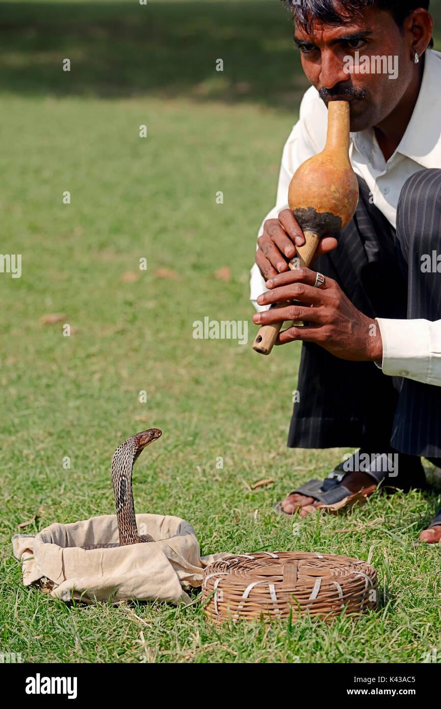 Encantador de serpientes con babas Cobra, Nueva Delhi, India / (Naja naja) | Schlangenbeschwoerer mit Indischer Foto de stock