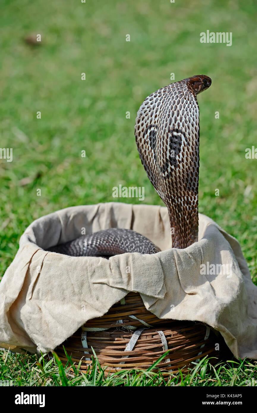 Oso cobra en la cesta del encantador de serpientes, Nueva Delhi, India / (Naja naja) | Indische Kobra en Korb von Foto de stock