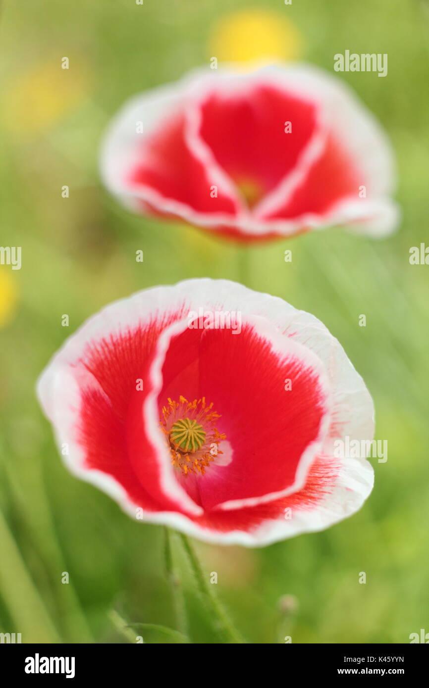 True Shirley amapola (Papaver rhoeas) que florece en una flor en inglés meadow en verano (julio), REINO UNIDO Foto de stock