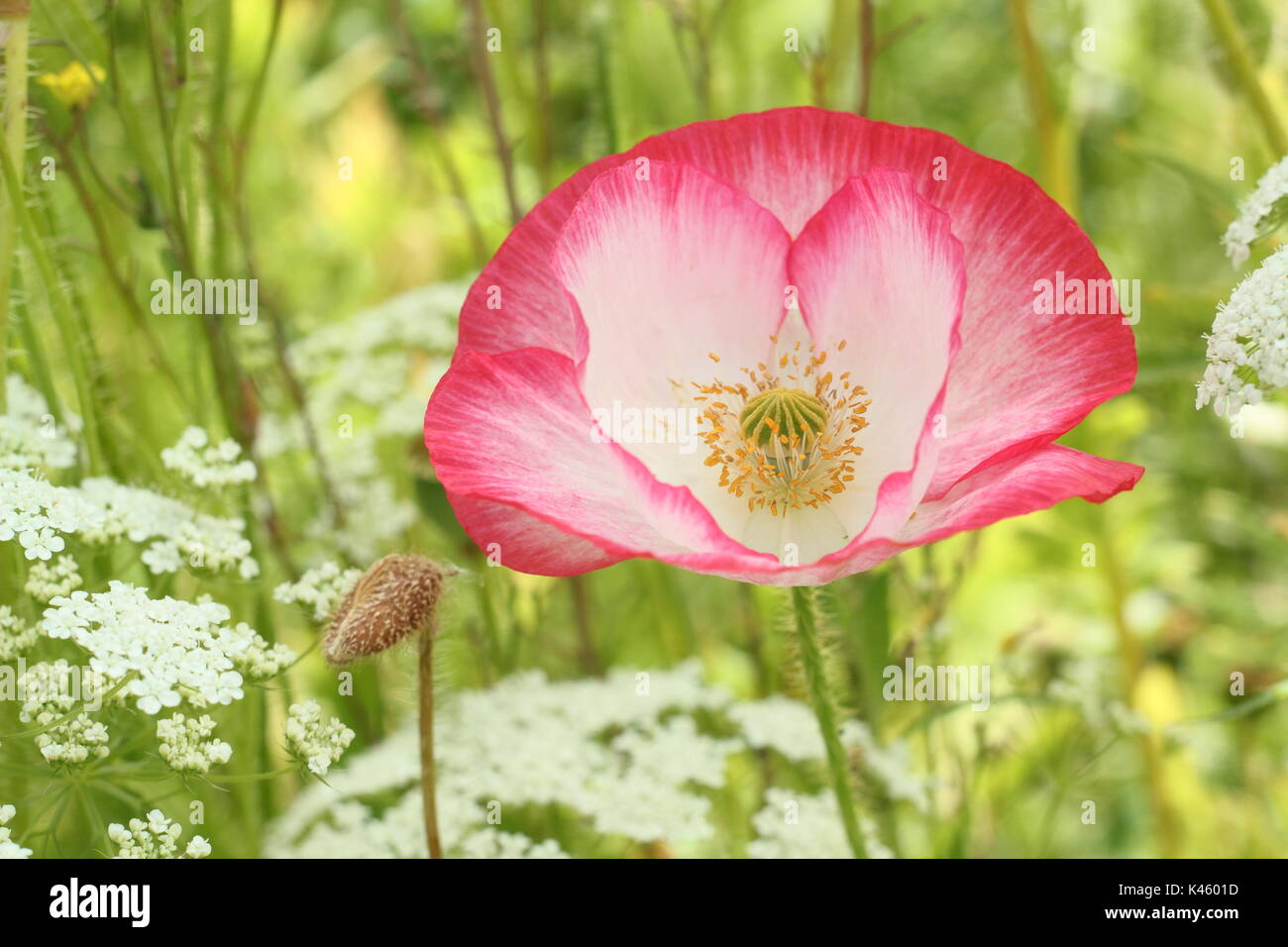True Shirley adormidera (Papaver rhoeas) que florece en una pradera pictórico inglés junto con el Obispo de la Flor (Ammi Majus en verano (julio), REINO UNIDO Foto de stock