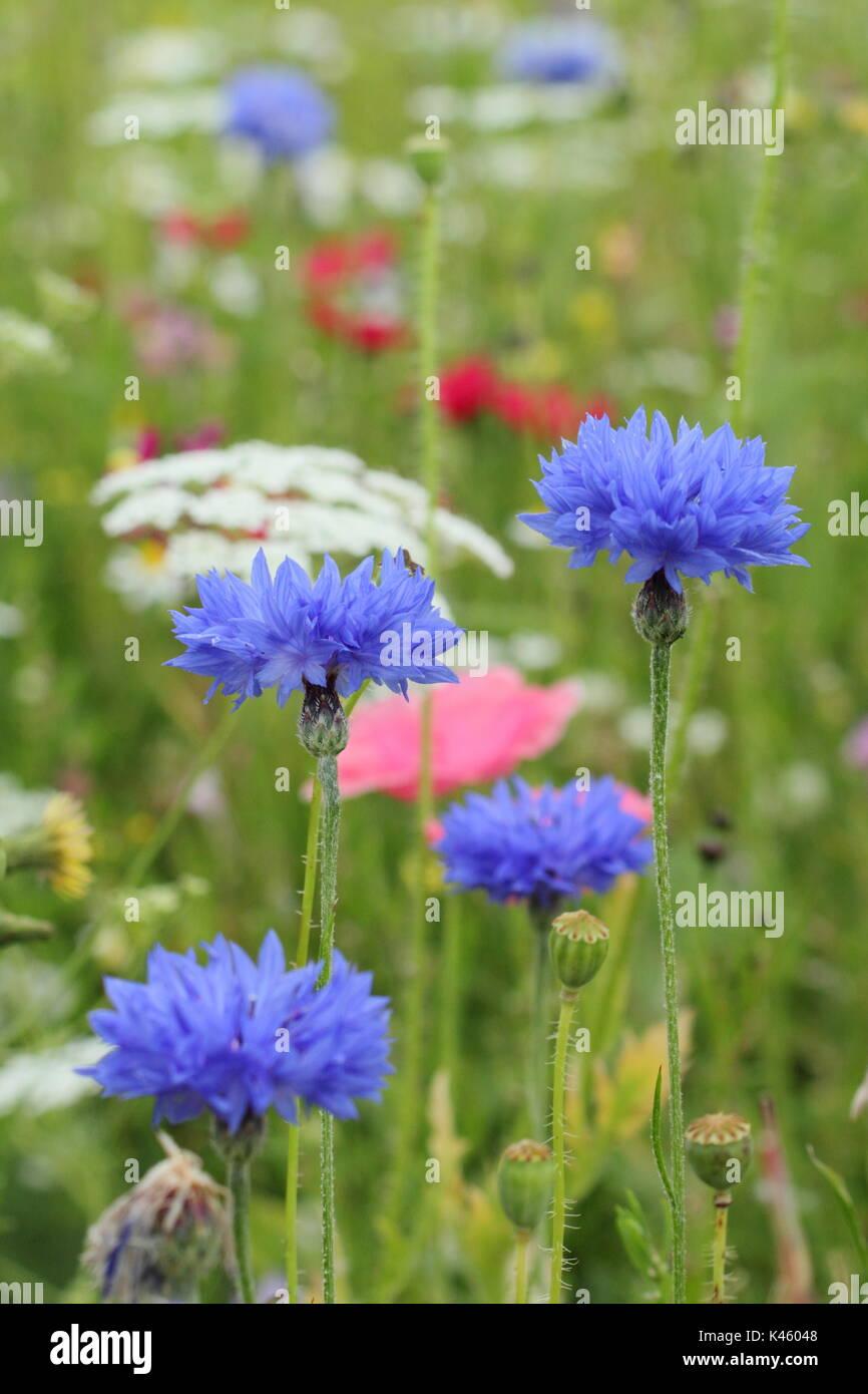 Acianos (Centaurea cyanus azul), Bishop's Flower (Ammi Majus) y Shirley amapola (Papaver rhoeas) en una pradera sembrada en inglés en verano (julio), REINO UNIDO Foto de stock