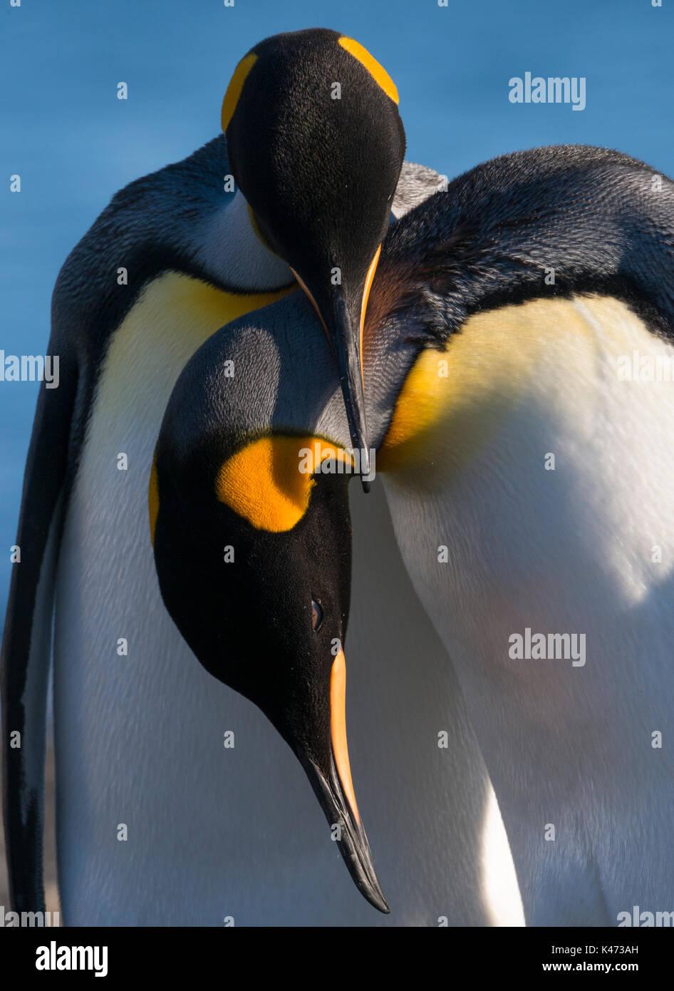 Pingüino Rey (Aptenodytes patagonicus) de Tierra del Fuego, Chile Imagen De Stock