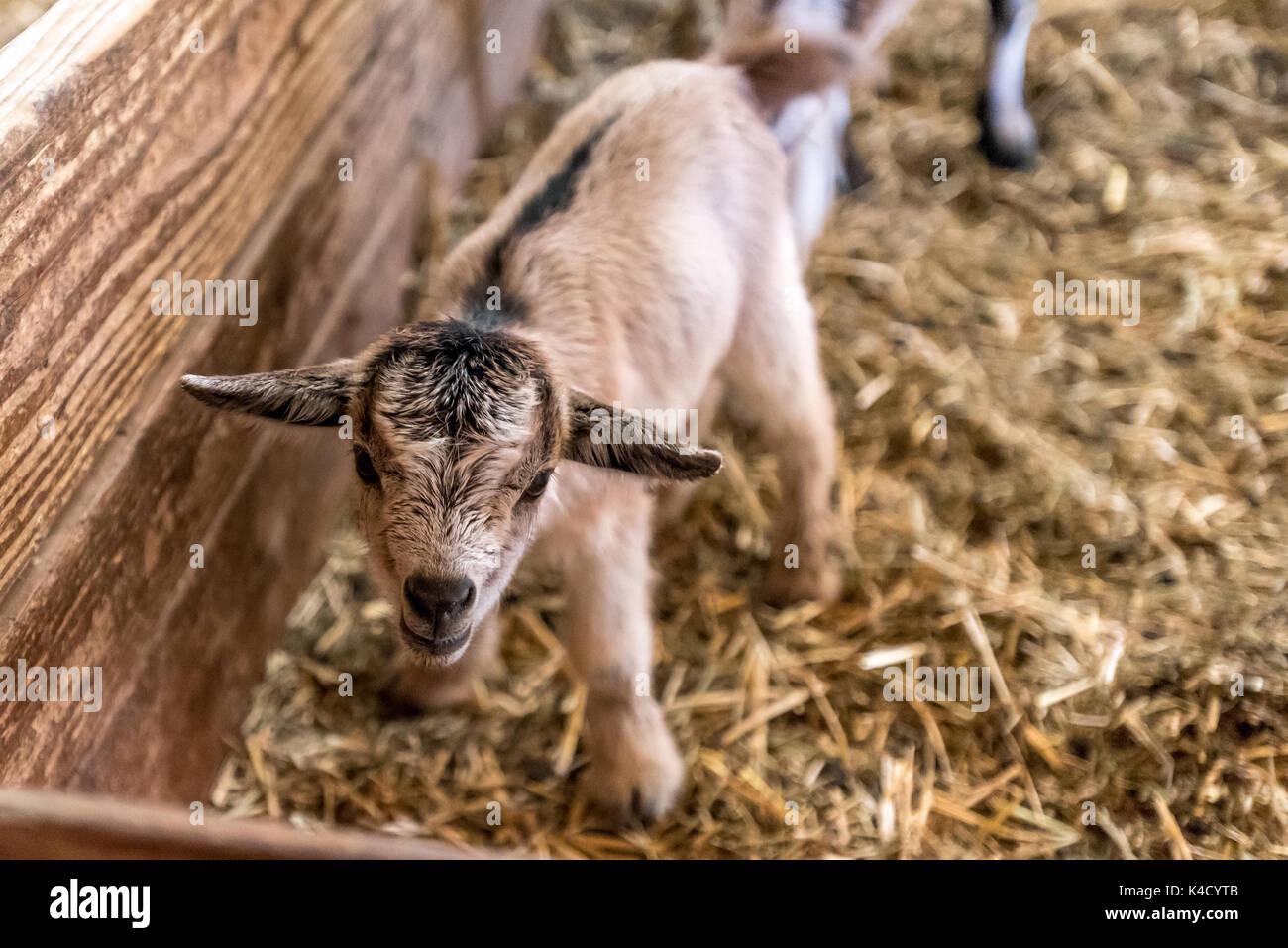 Un bebé recién nacido está en Cabra wobbly legs, cerca de granja animal lindo en el granero. Imagen De Stock